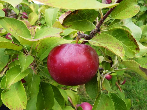 Pommes-2014-04