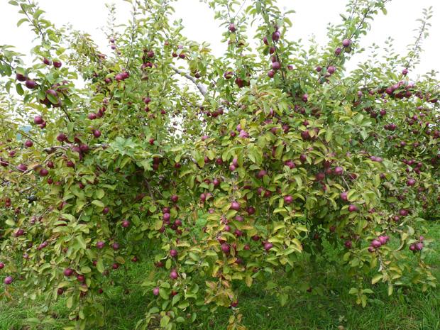 Pommes-2014-05