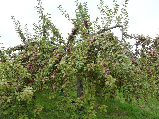 Pommes-2014-07