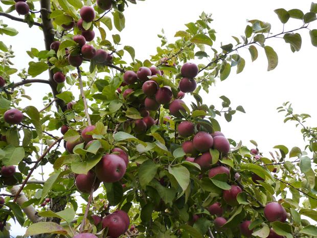Pommes-2014-08