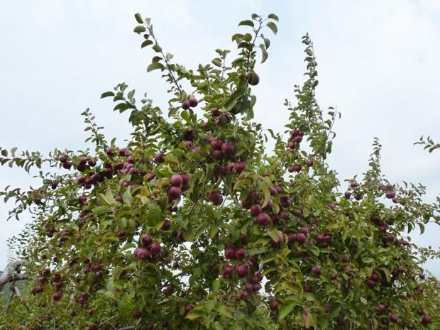 Pommes-2014-09